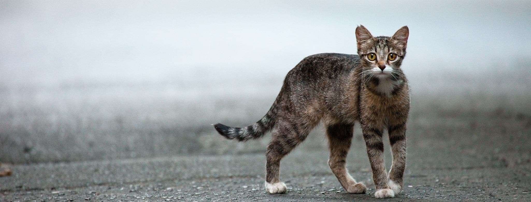 A cat with a curved tail