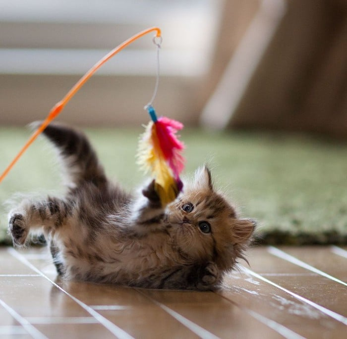 A kitten playing with a feather on a string, hanging from a rod