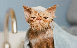 A soaking wet cat wrapped in a towel looking very angry