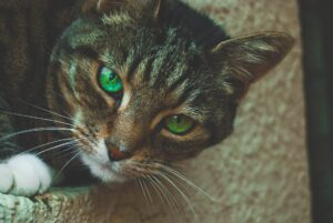 A common housecat with green eyes