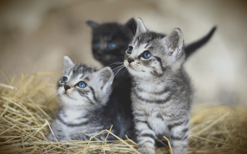 two silver tabby kittens that look like twins, with a black kitten in the background