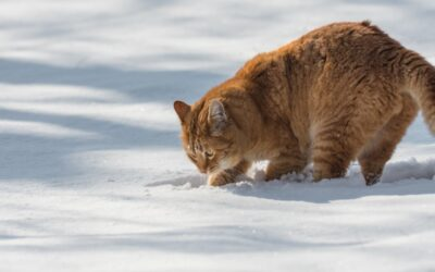 A cat digging a hole in the snow outside