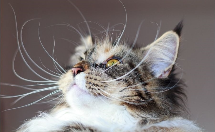 long whiskers