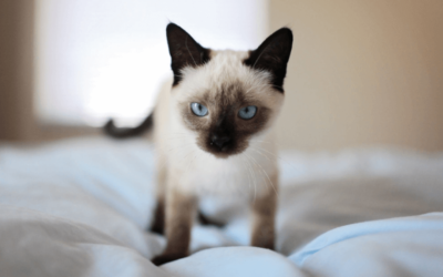 Siamese kitten on bed - do Siamese cats shed hair?