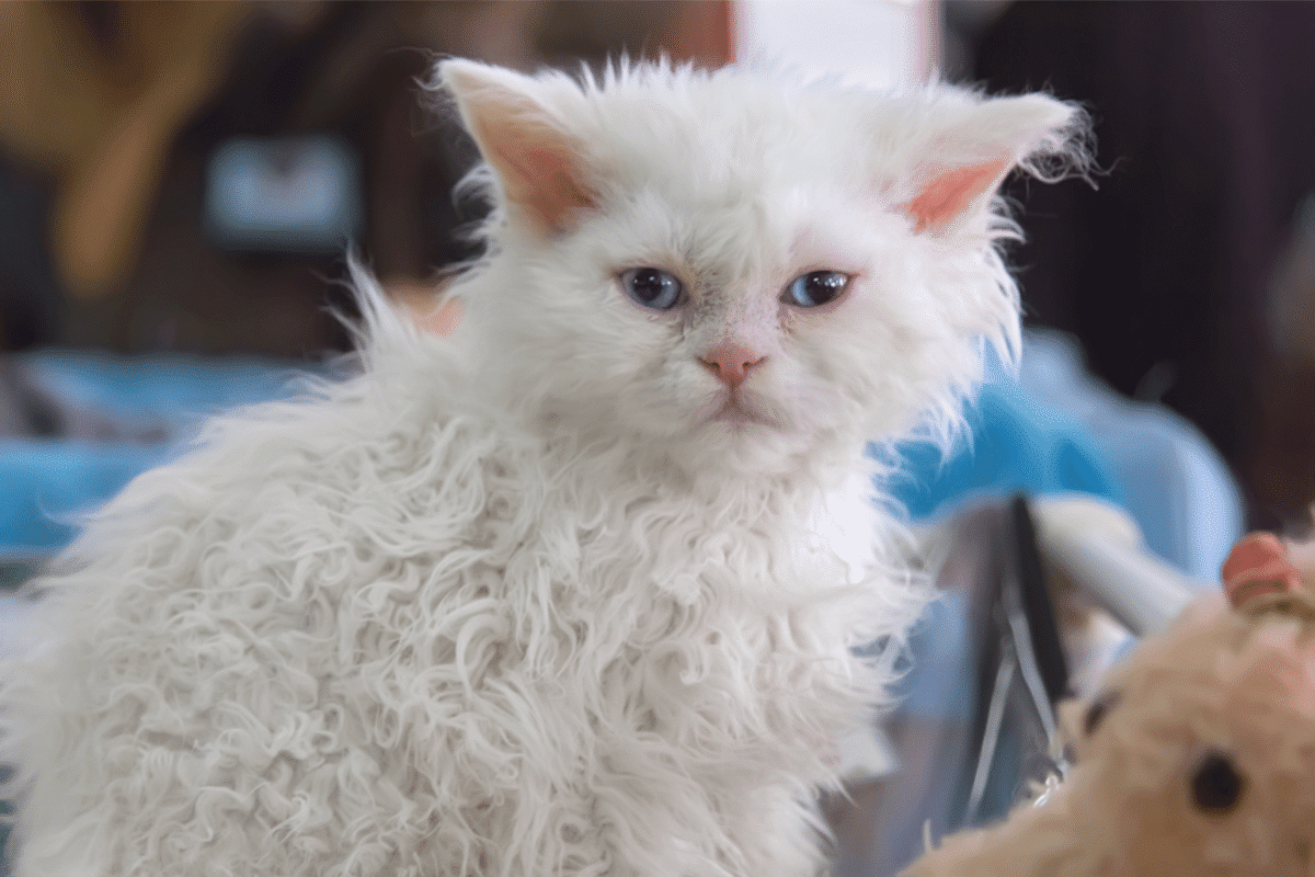 A selkirk rex with curly hair