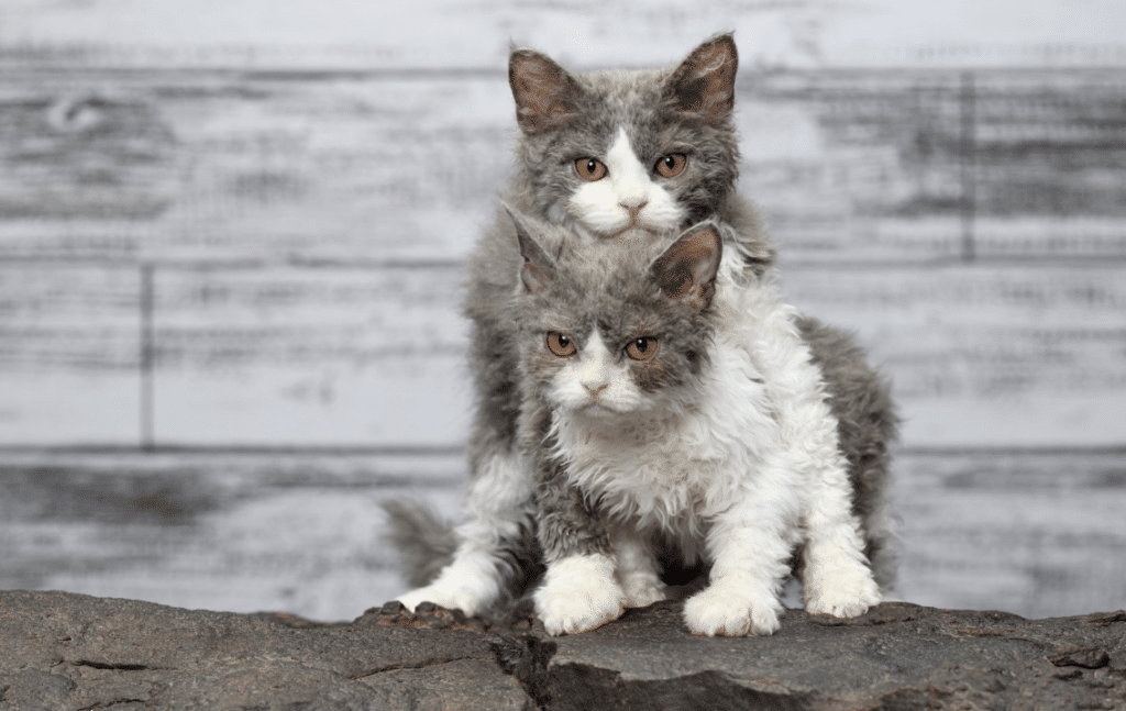 Two selkirk cats with brown eyes playing
