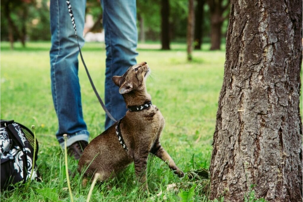 Sphynx cat in a leash and harness, looking up at a tree