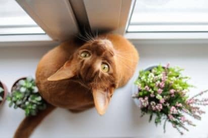 An Abyssinian with gold eyes looking up