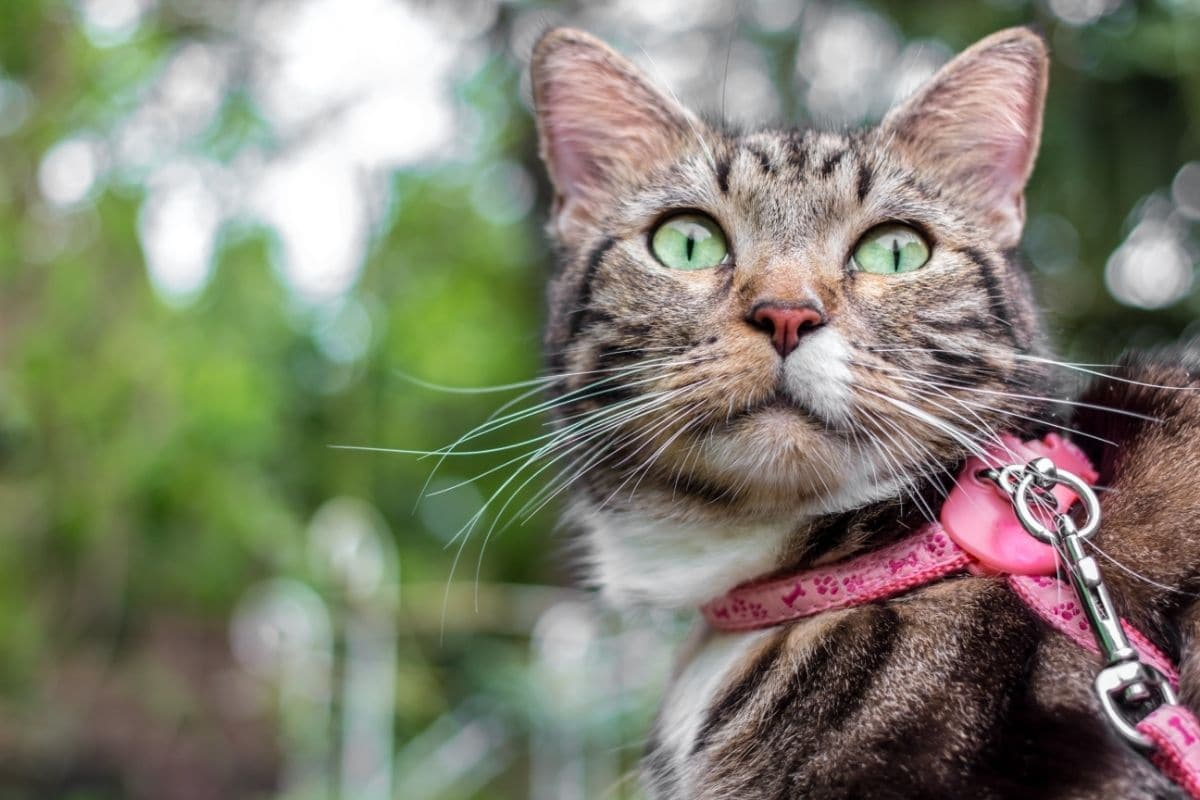 A cat in a pink harness and leash