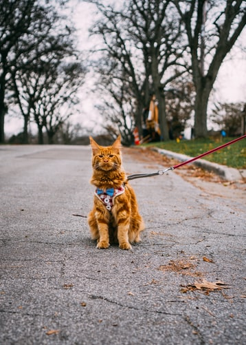 Not all cats can adapt to leash walking - but this brown cat seems to be fine