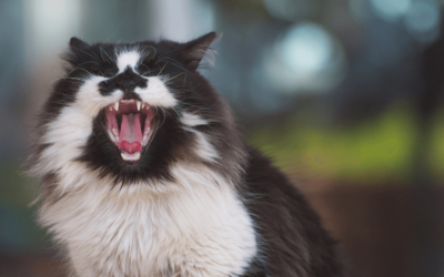 Black and white cat showing her teeth