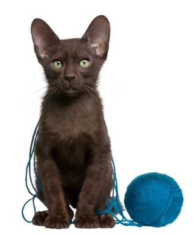 A brown kitten with a ball of yarn