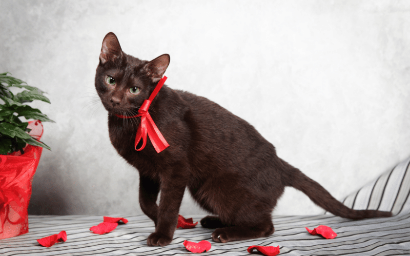 Black Havana Brown cat with red ribbons