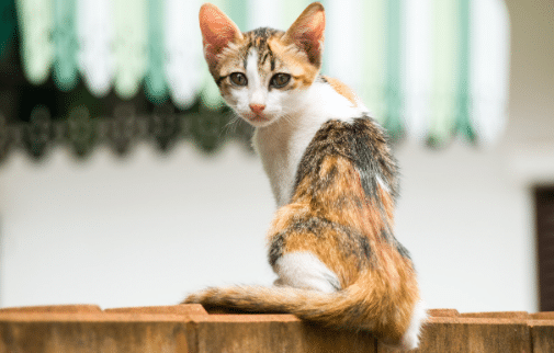 a thin tortoiseshell and white kitten is sitting on a wall - why is my cat or kitten not growing?