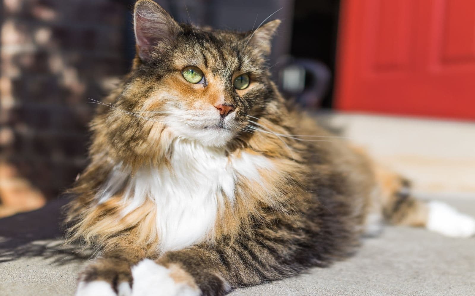 A maine coon with green eyes